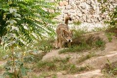 Λύκος με μια άποψη Στοκ Φωτογραφίες
