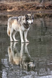 Λύκος με την αντανάκλαση Στοκ Εικόνες