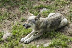 Λύκος μωρών Στοκ Εικόνα