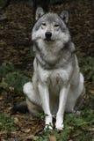 Λύκος ξυλείας που εξετάζει τη κάμερα Στοκ φωτογραφίες με δικαίωμα ελεύθερης χρήσης