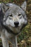 Λύκος ξυλείας που εξετάζει τη κάμερα Στοκ Εικόνες