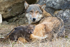Λύκος ξυλείας μητέρων και κουταβιών Στοκ Φωτογραφίες