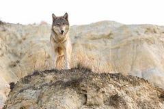 Λύκος ξυλείας που κοιτάζει πέρα από την κορυφογραμμή στοκ εικόνα