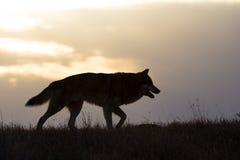 Λύκος ξυλείας στην ανατολή Στοκ Εικόνες