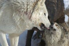 λύκος πακέτων αλληλεπίδ&rh Στοκ Εικόνες
