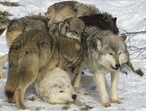 λύκος πακέτων Στοκ Εικόνα