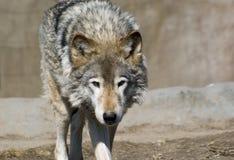 λύκος πορτρέτου Στοκ εικόνες με δικαίωμα ελεύθερης χρήσης