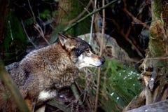 Λύκος πορτρέτου στοκ εικόνα με δικαίωμα ελεύθερης χρήσης