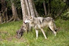Λύκος που γλείφει τα χείλια του Στοκ φωτογραφία με δικαίωμα ελεύθερης χρήσης