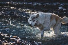 Λύκος που διασχίζει τον κολπίσκο στοκ εικόνα