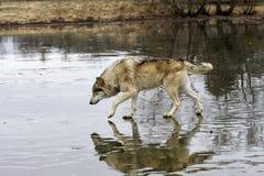 Λύκος που περπατά στην παγωμένη λίμνη Στοκ Φωτογραφίες