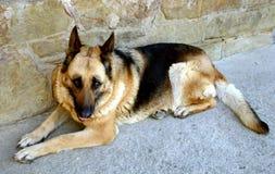 Λύκος-σκυλί στοκ φωτογραφίες
