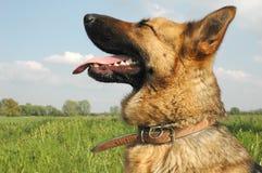 λύκος σκυλιών Στοκ φωτογραφία με δικαίωμα ελεύθερης χρήσης