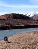 Λύκος στα βουνά του Κολοράντο που αγνοεί το λίθο Στοκ εικόνα με δικαίωμα ελεύθερης χρήσης