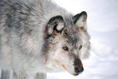 Λύκος στα ξύλα στοκ φωτογραφία