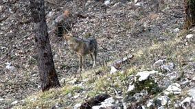Λύκος στα ξύλα απόθεμα βίντεο