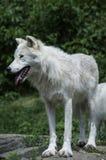 Λύκος στην αιχμαλωσία Στοκ Εικόνες