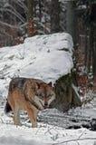 Λύκος στη μαύρη δασική Γερμανία Στοκ φωτογραφία με δικαίωμα ελεύθερης χρήσης