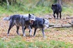 Λύκος στο δάσος στοκ φωτογραφία με δικαίωμα ελεύθερης χρήσης