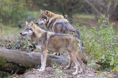 Λύκος στο δάσος στοκ εικόνες με δικαίωμα ελεύθερης χρήσης