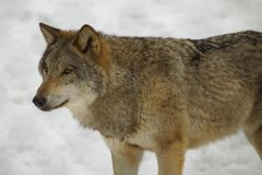 λύκος της Πολωνίας bialowieza Στοκ Εικόνες