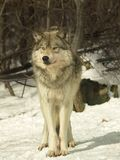 λύκος του Καναδά στοκ εικόνες με δικαίωμα ελεύθερης χρήσης