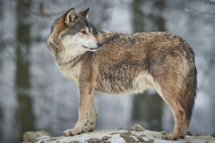 Λύκος το χειμώνα Στοκ φωτογραφία με δικαίωμα ελεύθερης χρήσης