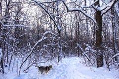 Λύκος τρεξίματος σε ένα χιονώδες δάσος Στοκ Εικόνες