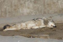 λύκος ύπνου Στοκ Εικόνες