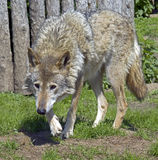 Λύκος 2 Στοκ Φωτογραφίες