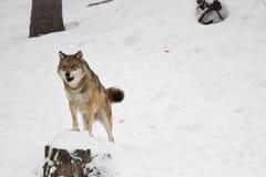 Λύκος Στοκ φωτογραφία με δικαίωμα ελεύθερης χρήσης