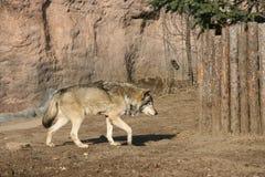 λύκος Στοκ Φωτογραφίες