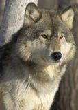 λύκος Στοκ φωτογραφίες με δικαίωμα ελεύθερης χρήσης