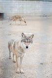 Λύκος Στοκ εικόνες με δικαίωμα ελεύθερης χρήσης