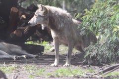 Λύκος Στοκ εικόνα με δικαίωμα ελεύθερης χρήσης