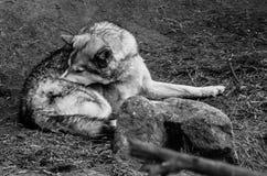 Λύκος Canis - γκρίζος λύκος Στοκ εικόνα με δικαίωμα ελεύθερης χρήσης
