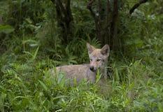 Λύκος Canis κουταβιών λύκων ξυλείας στο δύσκολο απότομο βράχο στο καλοκαίρι Στοκ φωτογραφίες με δικαίωμα ελεύθερης χρήσης