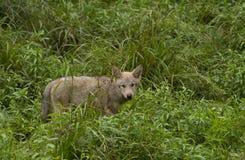 Λύκος Canis κουταβιών λύκων ξυλείας στο καλοκαίρι Στοκ Φωτογραφία