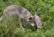 Λύκος Canis λύκων και κουταβιών ξυλείας στο δύσκολο απότομο βράχο στο καλοκαίρι Στοκ εικόνες με δικαίωμα ελεύθερης χρήσης
