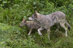 Λύκος Canis λύκων και κουταβιών ξυλείας στο καλοκαίρι Στοκ εικόνες με δικαίωμα ελεύθερης χρήσης