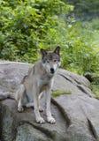 Λύκος Canis λύκων ξυλείας στο δύσκολο απότομο βράχο στο καλοκαίρι Στοκ φωτογραφίες με δικαίωμα ελεύθερης χρήσης