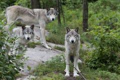 Λύκος Canis λύκων ξυλείας στο δύσκολο απότομο βράχο στο καλοκαίρι Στοκ Εικόνες