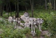Λύκος Canis λύκων ξυλείας στο δύσκολο απότομο βράχο στο καλοκαίρι Στοκ εικόνα με δικαίωμα ελεύθερης χρήσης