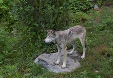 Λύκος Canis λύκων ξυλείας στο δύσκολο απότομο βράχο στο καλοκαίρι Στοκ Εικόνα