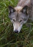 Λύκος Canis λύκων ξυλείας στο καλοκαίρι Στοκ φωτογραφία με δικαίωμα ελεύθερης χρήσης