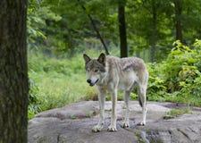 Λύκος Canis λύκων ξυλείας στο καλοκαίρι Στοκ φωτογραφίες με δικαίωμα ελεύθερης χρήσης