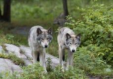 Λύκος Canis λύκων ξυλείας στο καλοκαίρι Στοκ Εικόνα