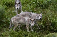 Λύκος Canis λύκων ξυλείας στο καλοκαίρι Στοκ Φωτογραφίες