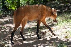 Λύκος Itatiba Βραζιλία Guara Στοκ φωτογραφία με δικαίωμα ελεύθερης χρήσης