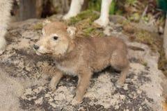Λύκος-Wolf-cub Στοκ Φωτογραφίες